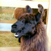Black and Brown Llama