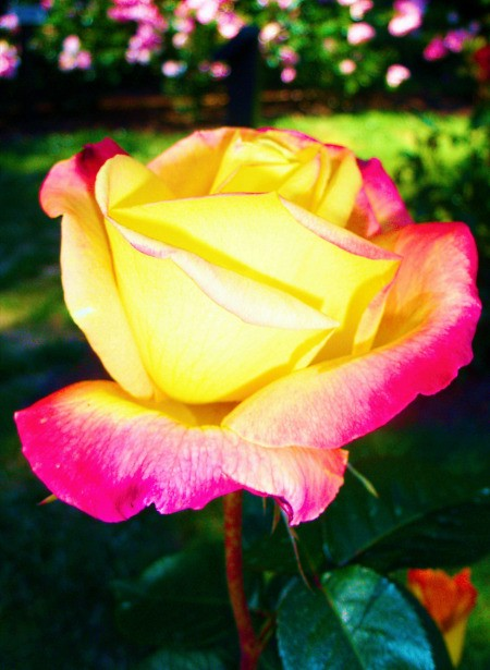 Pink Rose with Yellow Tips