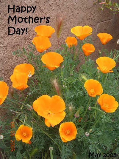Photo of Poppies that says Happy Mothers Day.