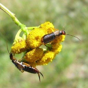 Two earwigs on a yellow flower.