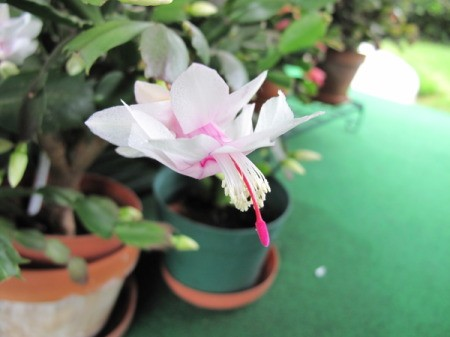 White and Pink Christmas Cactus