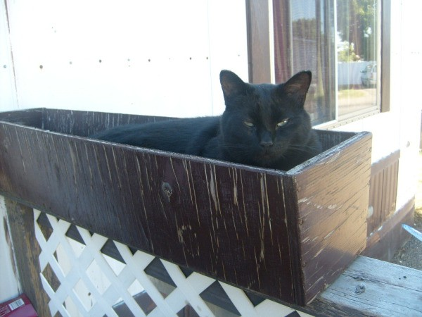 Bombay Amos the Cat Laying in Wood Planter