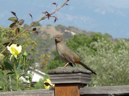 Large Towhee Sitting on Fence Post