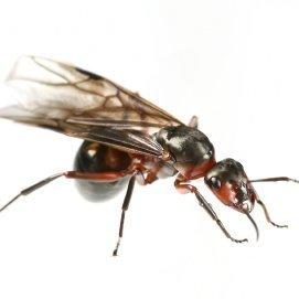 Getting Rid Of Flying Ants Thriftyfun