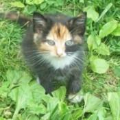 Tortoiseshell Kitten