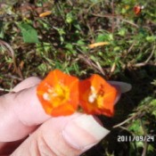 Tiny orange flower with yellowish orange veins.
