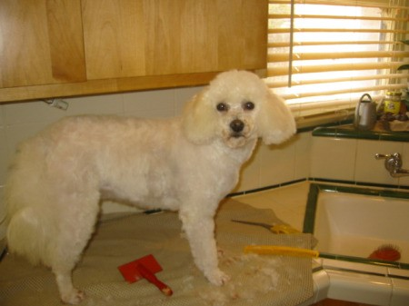 White poodle on counter after grooming