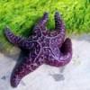 Large Vibrant Purple Starfish