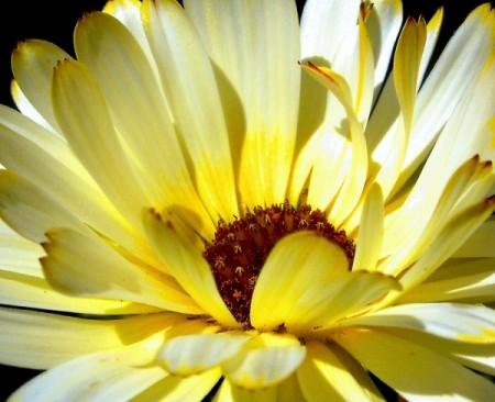 Closeup Pastel Yellow Flower Petals