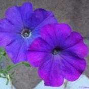 Purple Petunia Against Brick Background