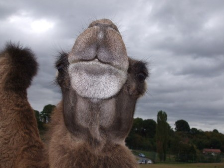 Camel Turning Noce Up at Camera
