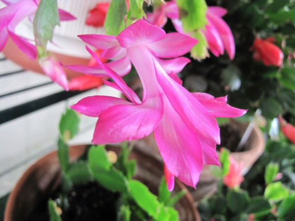 pink christmas cactus - How To Make A Christmas Cactus Bloom