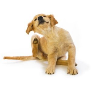 A puppy scratching at fleas.