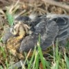 Baby Robin in the Grass