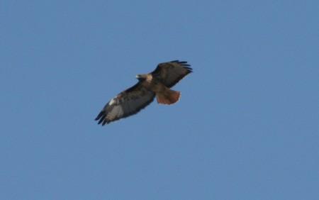Soaring Red Tail Hawk