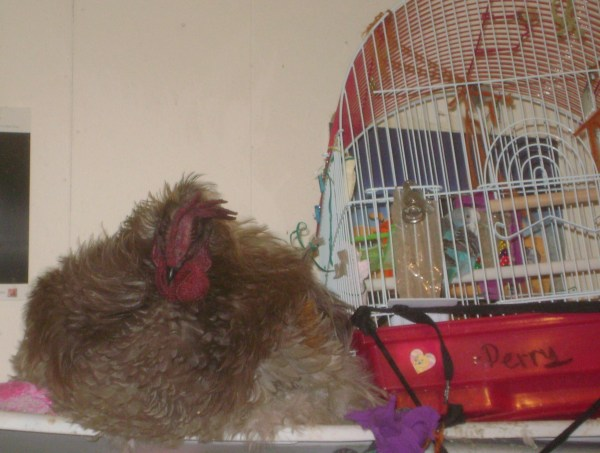 Rooster lying on shelf next to the birdcage.