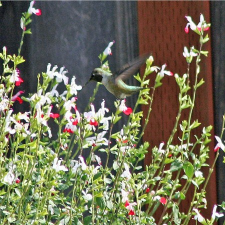 hummingbird Hovering Above Flowers