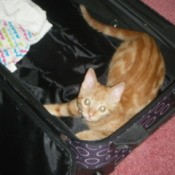 Orange tabby kitten in suitcase.