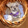 Dog in a bent cane type small basket.