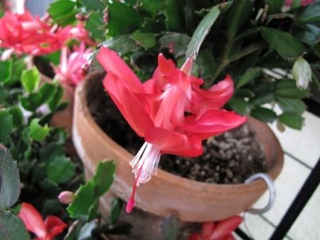 Thor Olga Flower Blooming