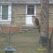 Falcon Sitting at Bird Feeder
