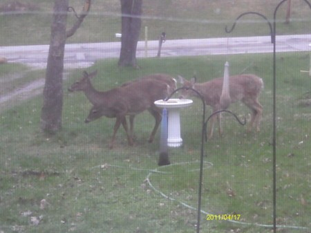 Looking out Window at Three Deer in Front Yard