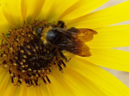 Closeup of Bee in Sunflower