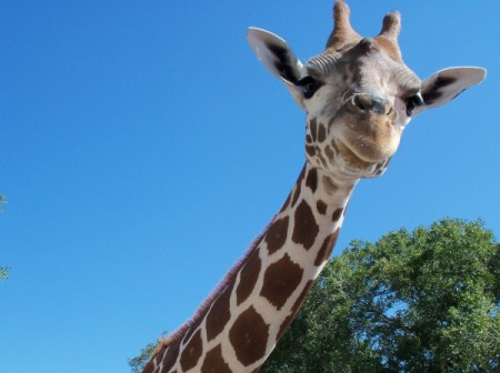 Giraffe Looking Down at Camera