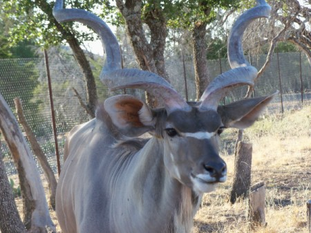 Kudu Antelope Looking at Camera