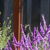 Hummingbird above sage flowers