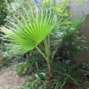 Large Mexican Palm Against Garden Wall