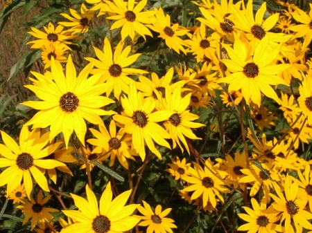 Large bunch of black eyed Susans