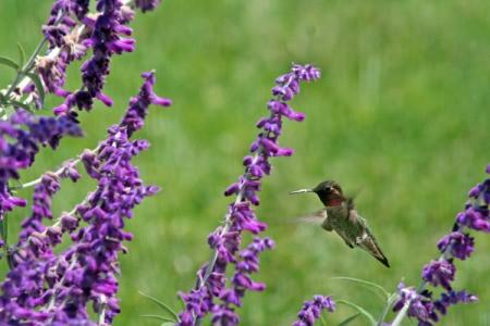 Hummingbird Feeding at Sage Flowers