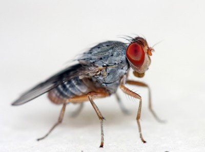 Photo of a fruit fly.