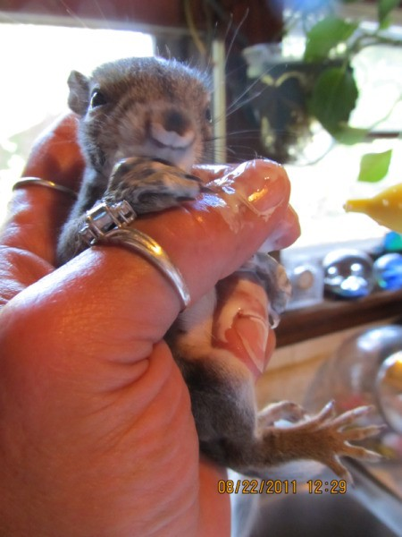 Baby Squirrel Being Held in Hand