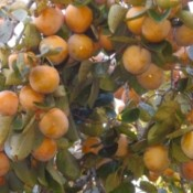Persimmons in Tree