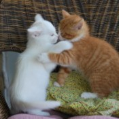 Waltzing Kittens Playing on a Chair