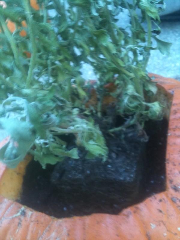 Pumpkin Planters - Place plant in pumpkin