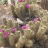Arizona Flowering Cactus