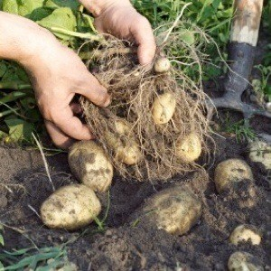 Photo of harvesting potatoes.