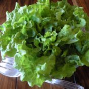 Head of green leaf lettuce.