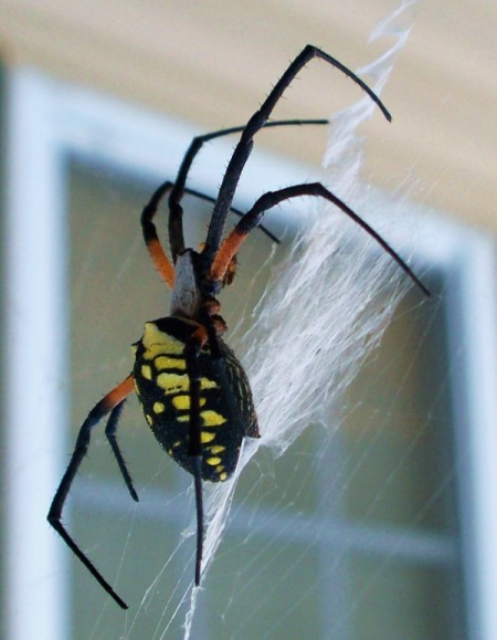 A large banana spider.