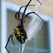 A large banana spider.