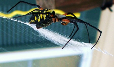 Closeup Side View of Banana Spider