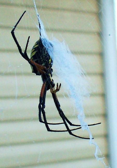 Underside of Banana Spider on Web