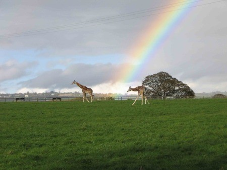Giraffes of Ireland With Rainbow Behind Them
