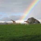 Giraffes of Ireland With Rainbow Behind Them