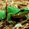 Closeup of Green Frog on Wood Chips