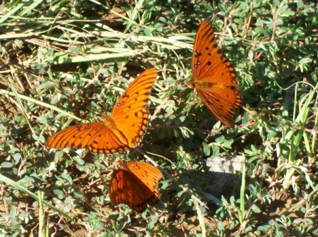 Three Orange Butterflies