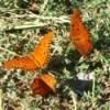Three Orange Butterflies